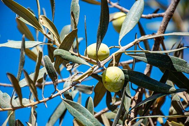 Zeytin yaprağı çayı nedir? Zeytin yaprağı çayı faydaları nelerdir?